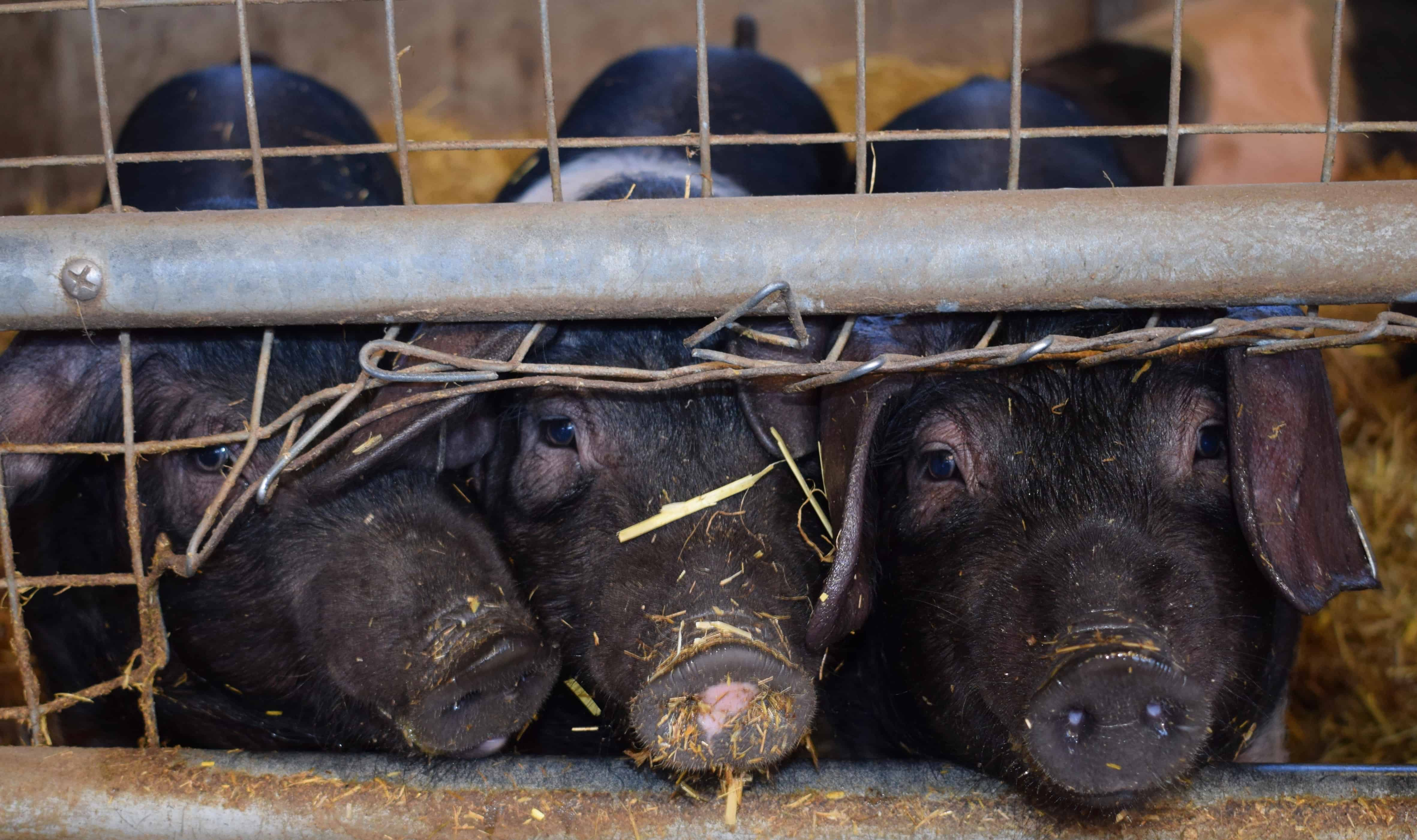 Weekly Digest: African swine fever continues global spread; HPV vaccine coverage expanded; Promising new Zika vaccine developed.